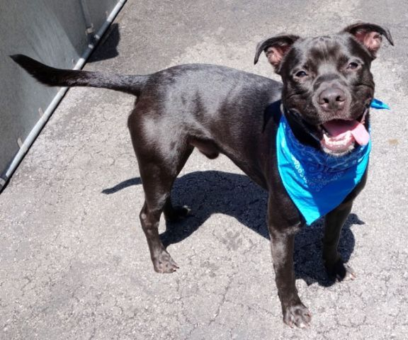 TYSON – A1081690 NEUTERED MALE, BLACK / WHITE, AM PIT BULL TER MIX, 1 yr OWNER SUR – EVALUATE, NO HOLD Reason OWN EVICT Intake condition UNSPECIFIE Intake Date 07/18/2016, From NY 10458, DueOut Date 07/18/2016, Medical Behavior Evaluation BLUE Medical Summary SCAN NEGATIVE BRIGHT ALERT RESPONSIVE HYDRATED PHYSICAL EXAM- INTACT MALE. YOUNG DOG EYES, EARS, BODY COAT- WNL AMB X 4 APPLIED ACTIVYL. 4 CC PYRANTEL PO GAVE. ALLOWS HANDLING BUT NERVOUS & TENSE. NOSF Weight 40.2
