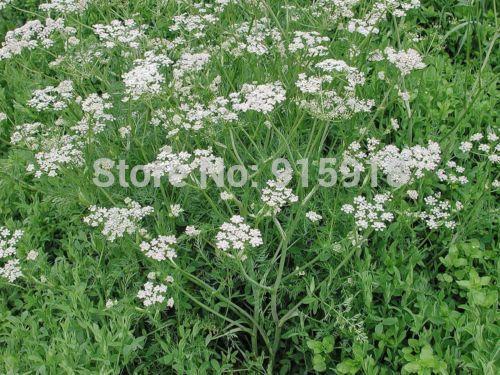 200pcs Cumin Original Organic Russian Heirloom Herb Seed