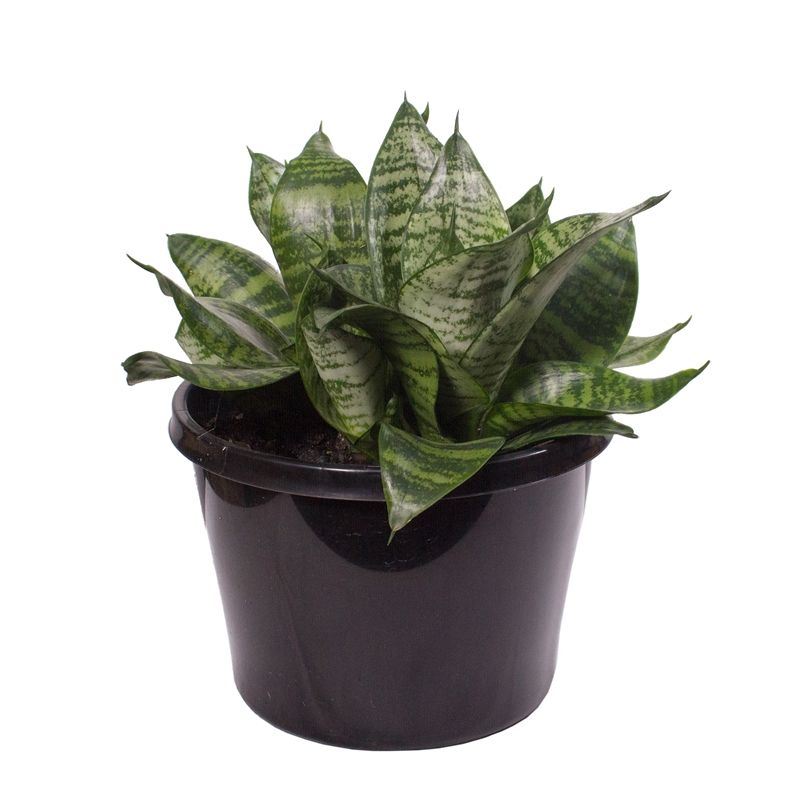 180mm Dwarf Mother In Law S Tongue Sansevieria Trifasciata Mother In Law Tongue Plants Sansevieria Trifasciata