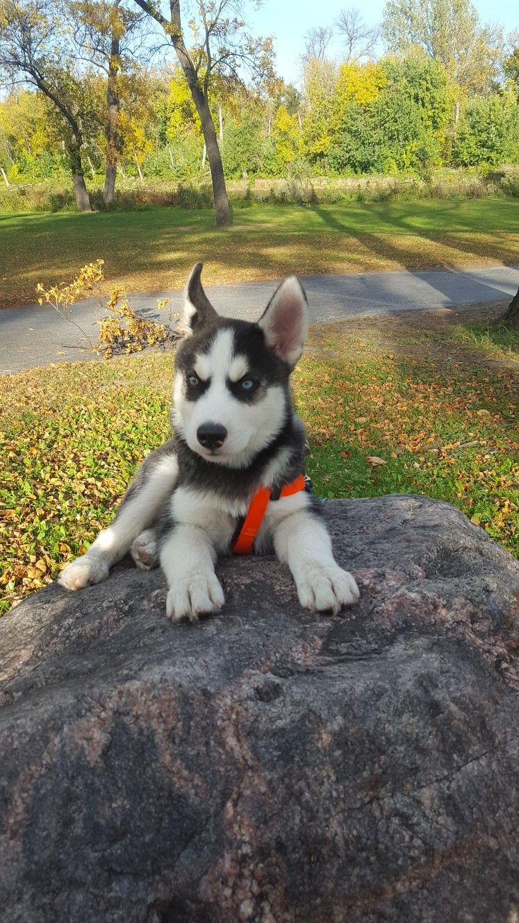 Husky Pup Shadow Cute Baby Animals Cute Little Puppies Cute