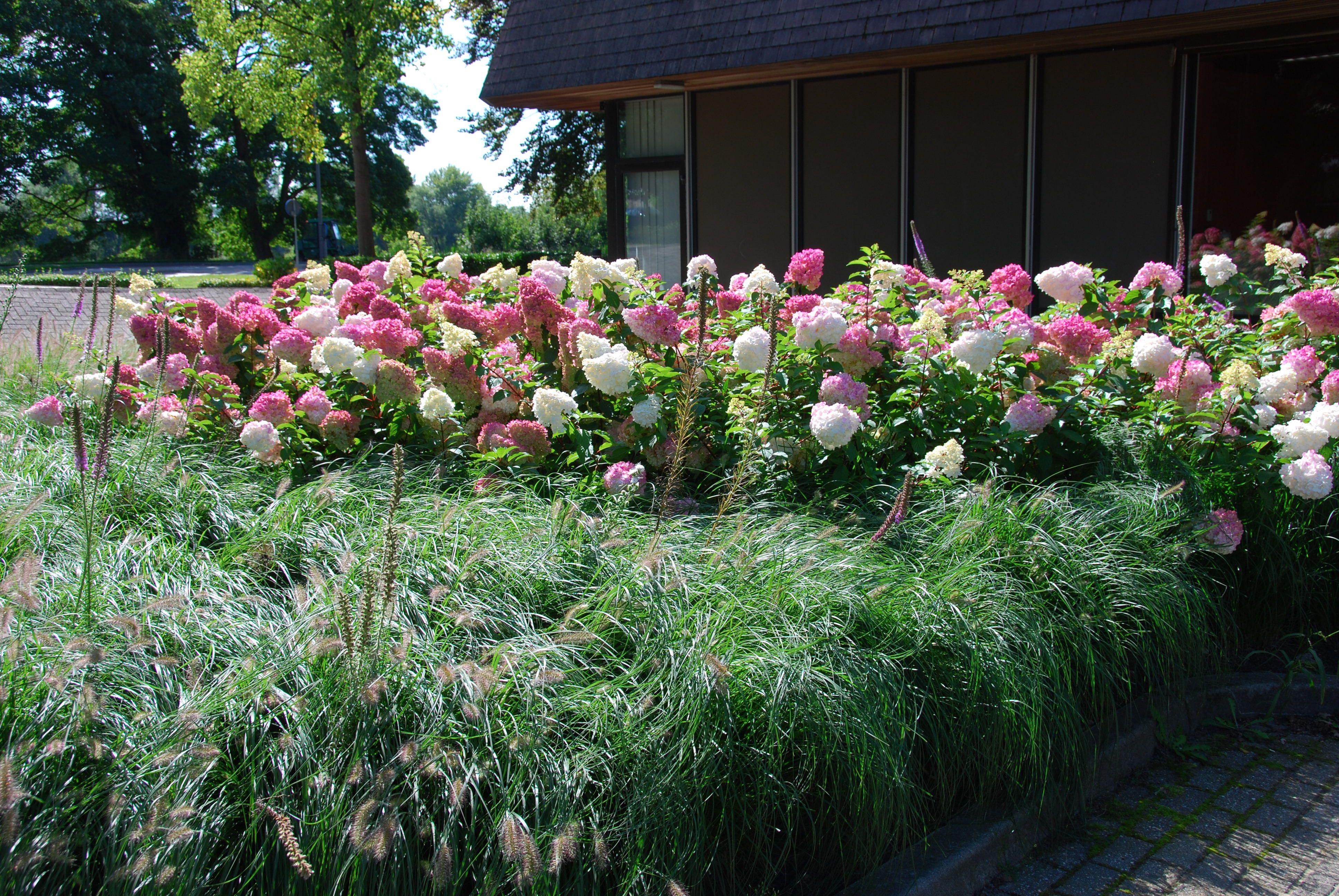 Hydrangea Vanille Fraise Pennisetum Hameln · Wunschlisten GartenHortensie