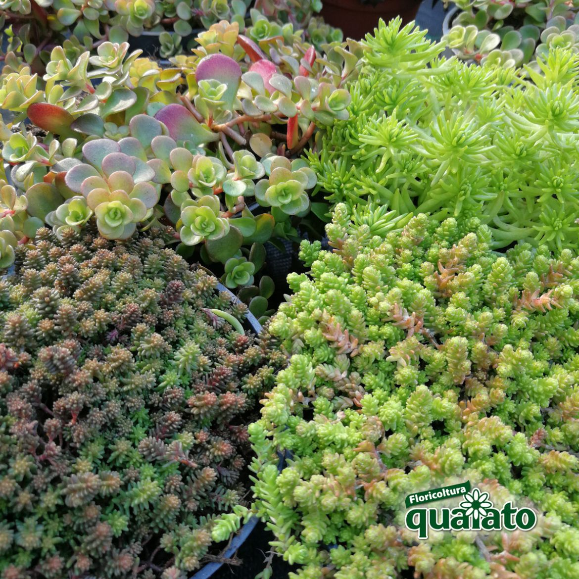 Photo of sedum