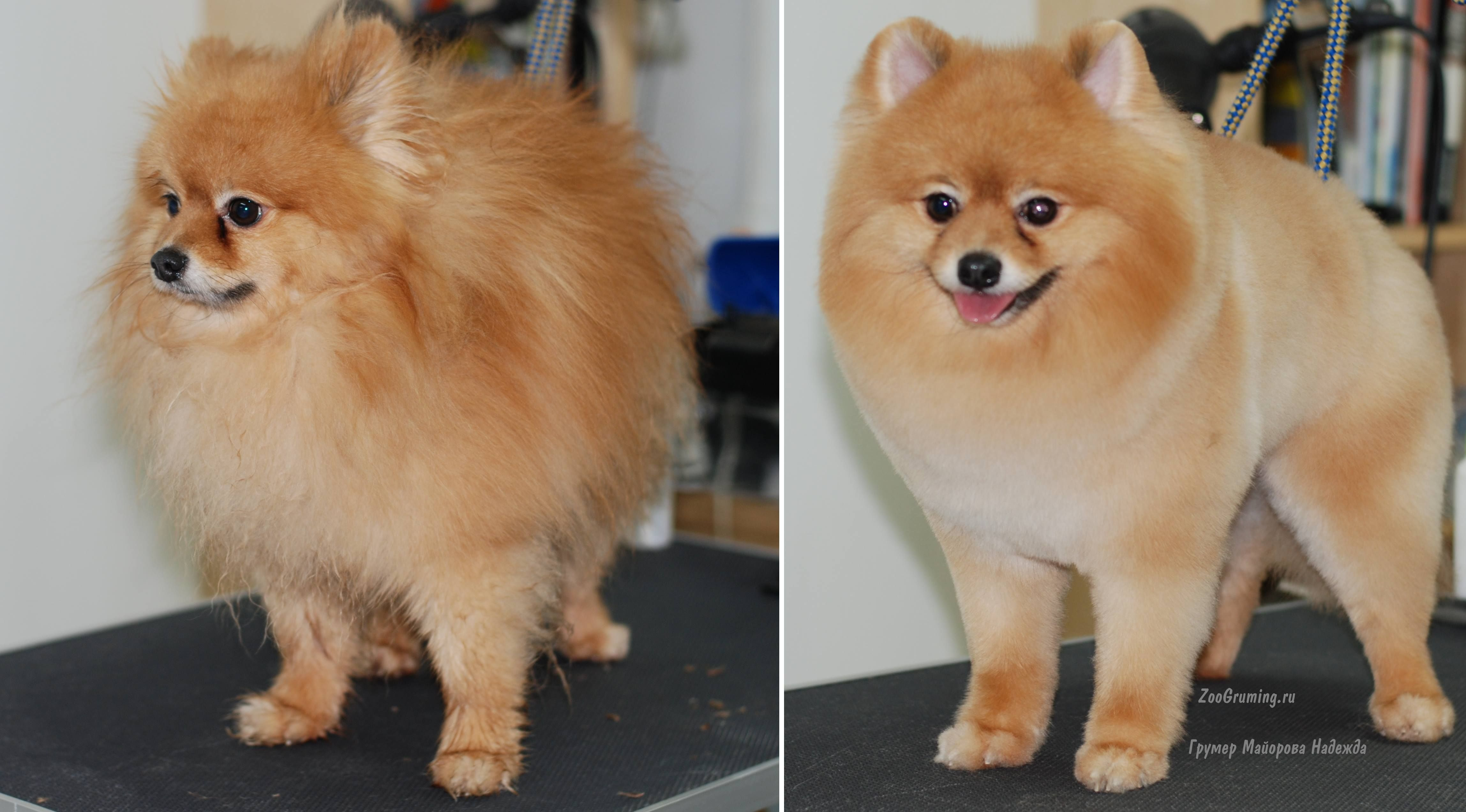 Strizhka Pomeranskogo Shpica Do I Posle Grooming Grooming Pomeranian Before And After Zoogruming Ru Pomeranian Dog Cute Pomeranian Dog Grooming Styles