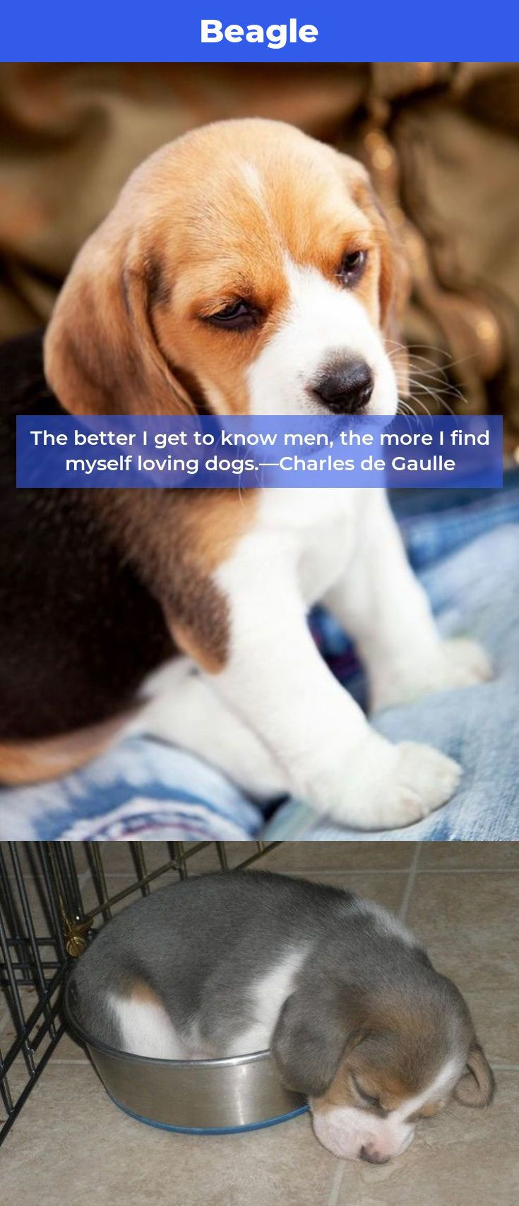 Beagle Puppy Beagles Beagles Facts Beagle Beagle Facts