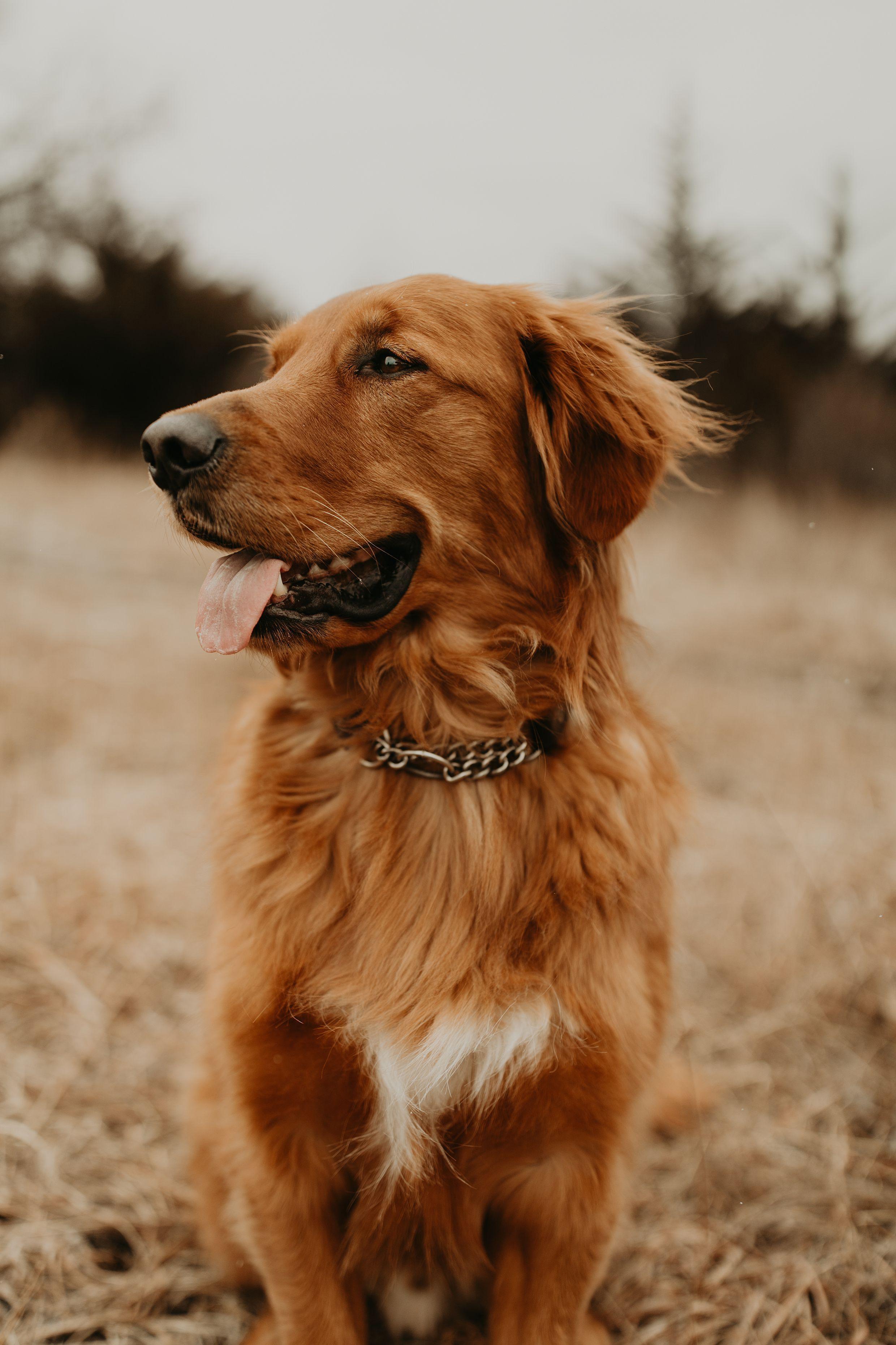 Red Golden Retriever in 2020 Red golden retriever puppy