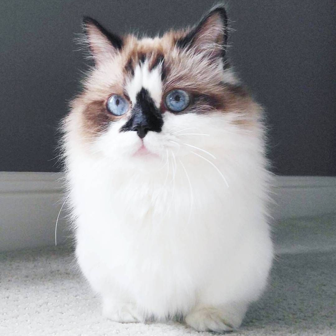 Albert Baby Cat A Munchkin Cat In Los Angeles Instagram - Meet albert the cutest munchkin cat on the internet