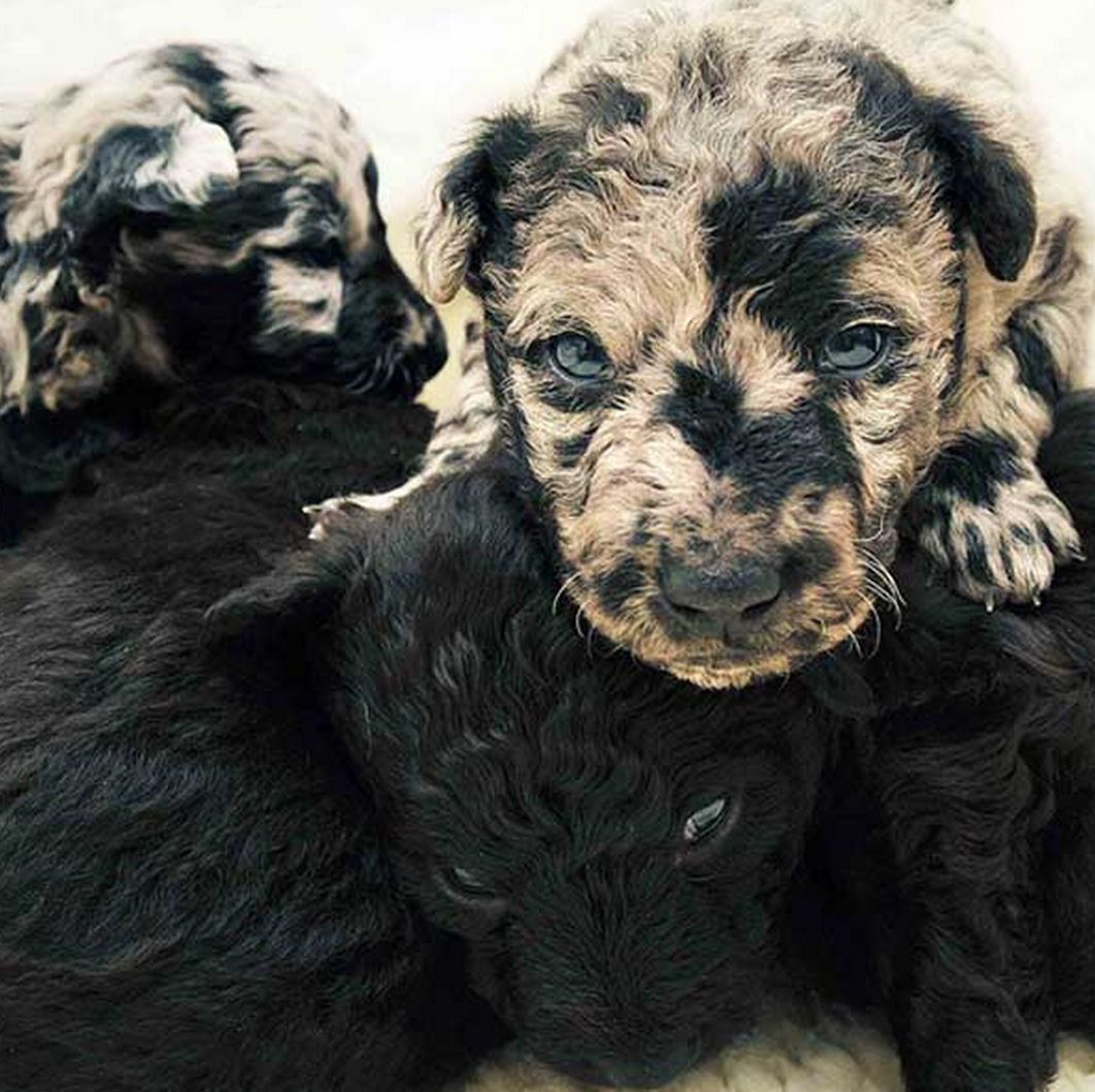 Tuesday's Most Adorable: A Litter Of 3-Week-Old Puppies Come In 2 Very Distinct Coat Patterns...