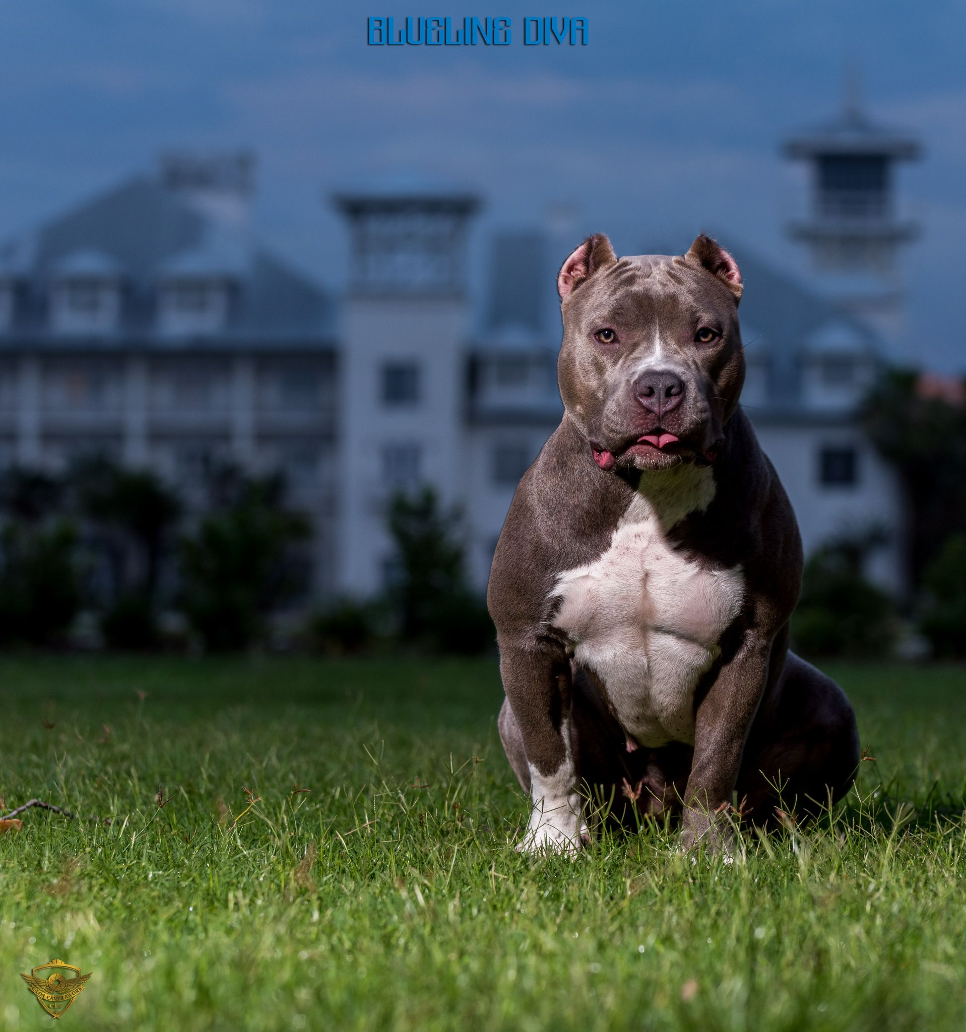 Pin By Carlos Santiago On Abkc American Bully Photography Sessions