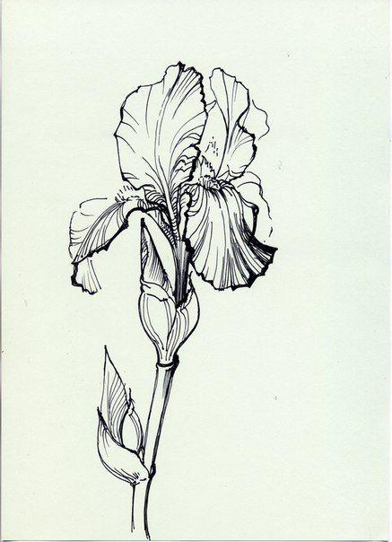 Pyatnica Razvlekushki Iris Drawing Flower Drawing Flower Sketches