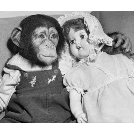 Close-up of a young chimpanzee with a doll Canvas Art - (24 x 36)