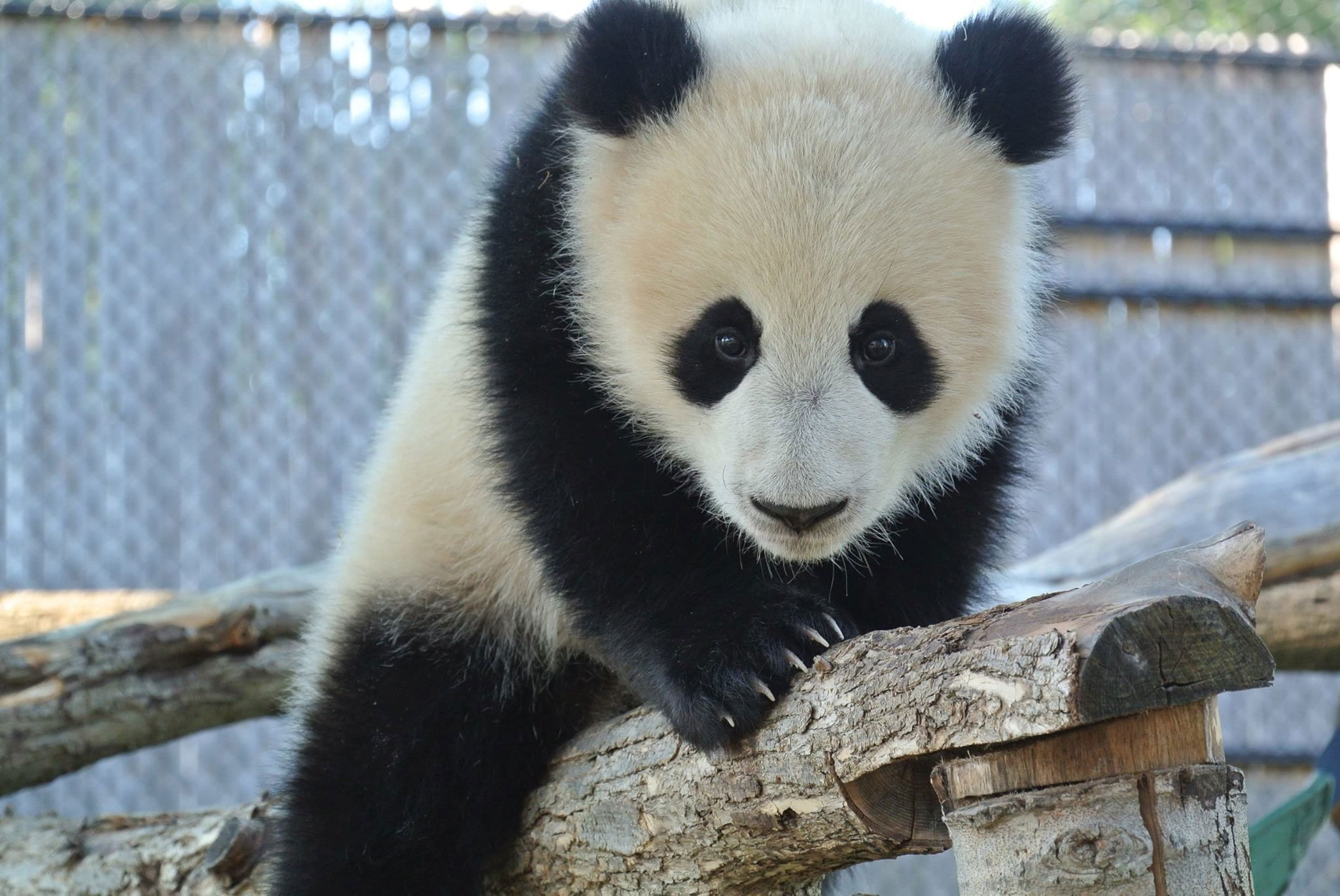 One of two giant panda cubs. TORONTO ZOO