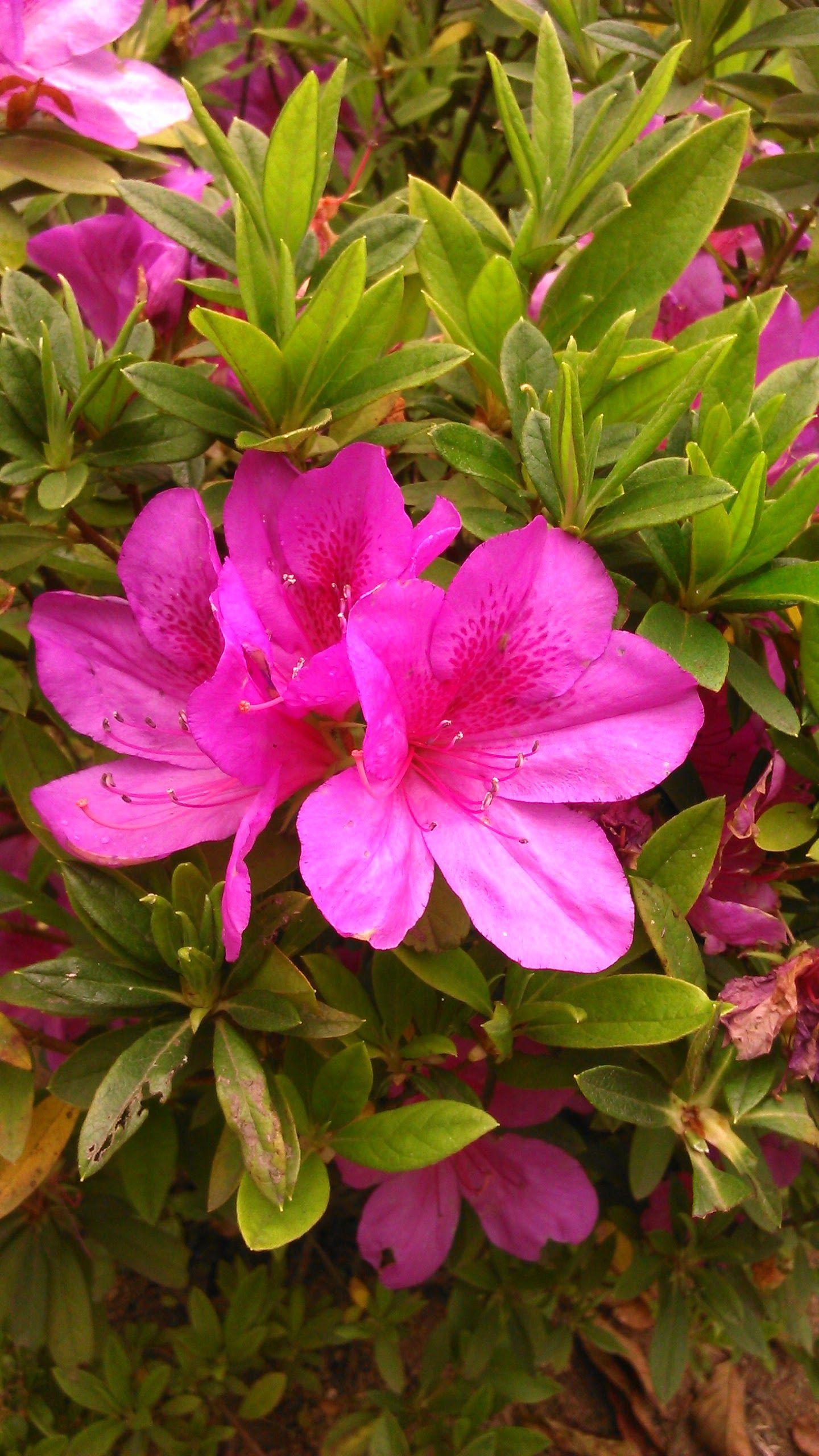 Beautiful Azalea Azalea Pinkazalea Plants Flowers Beautifulflower Gardening Gardens Godawari Nepal
