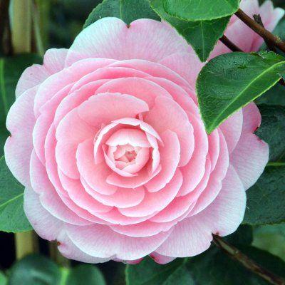 Camellia 'E. G. Waterhouse' | Flowers! <3 ^.^ | Camellia ... on