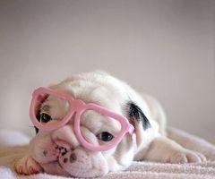 bulldog con gafas rosas de mentirijillas