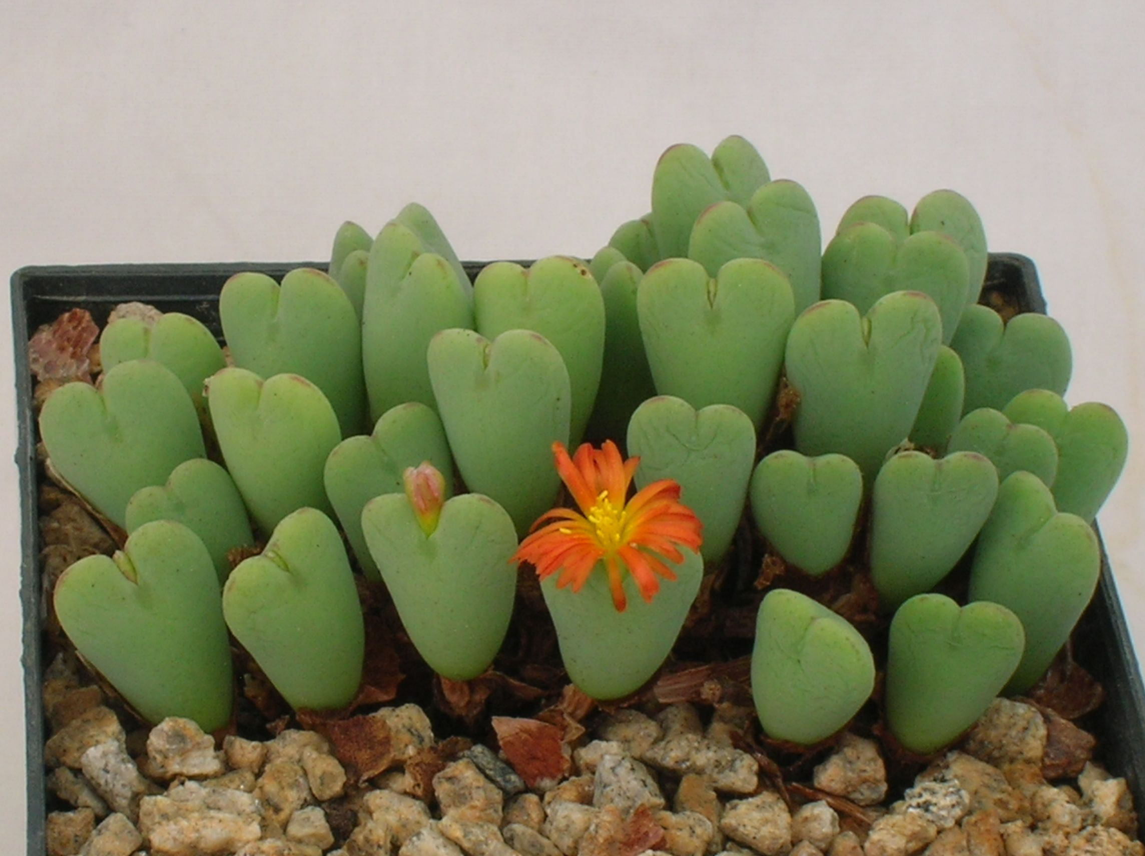 Conophytum bilobum...like little hearts, it enjoys semi shade. Expect it to bloom in Summer or early Autumn.