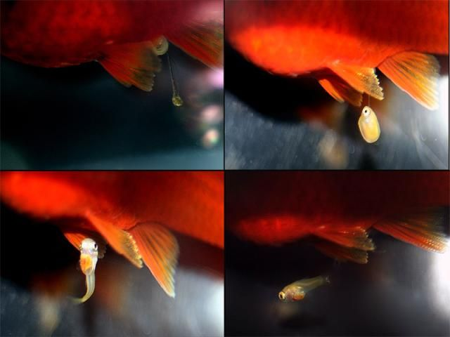 Find Out What Happens Before A Female Live Bearer Gives Birth Fish Breeding Molly Fish Swordtail Fish