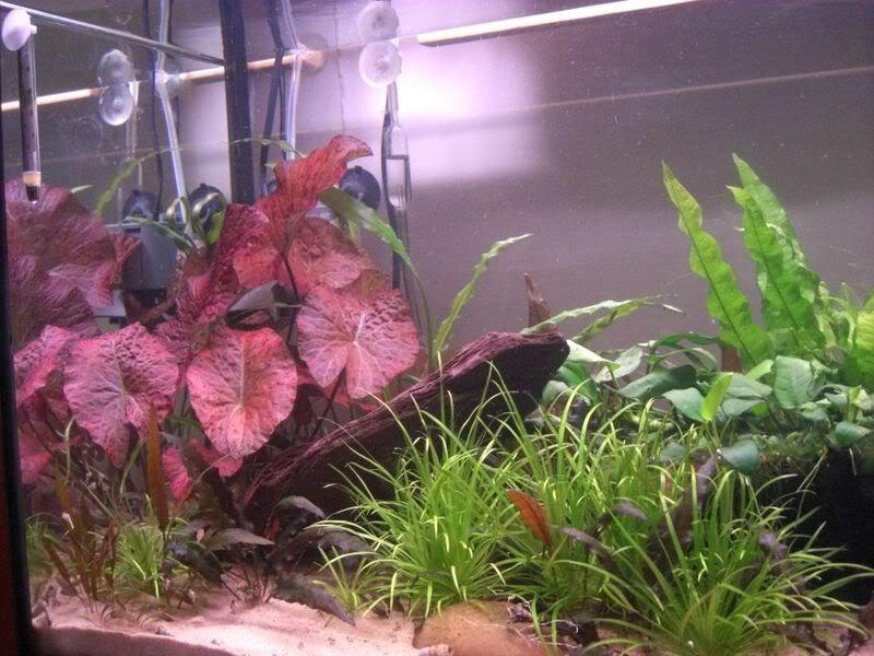 Tiger Lotus Red Aquarium Plants Planted Aquarium Aquarium Lotus