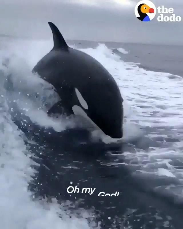 Man Filmed the live jumping of orca Whales. Please follow