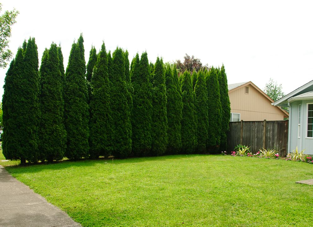 10 of the best trees for any backyard backyard plants for Backyard privacy landscaping trees