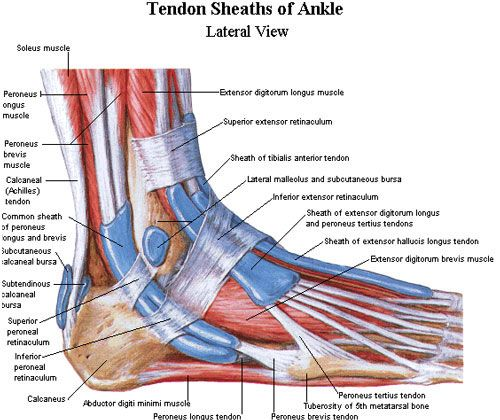 How Do I Know If I Have A Sprained Ankle Lower Anatomy Pinterest