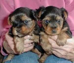 Teacup Puppies For Sale In Chicago Cute Puppies Teacup Puppies For Sale Teacup Puppies Puppies For Sale