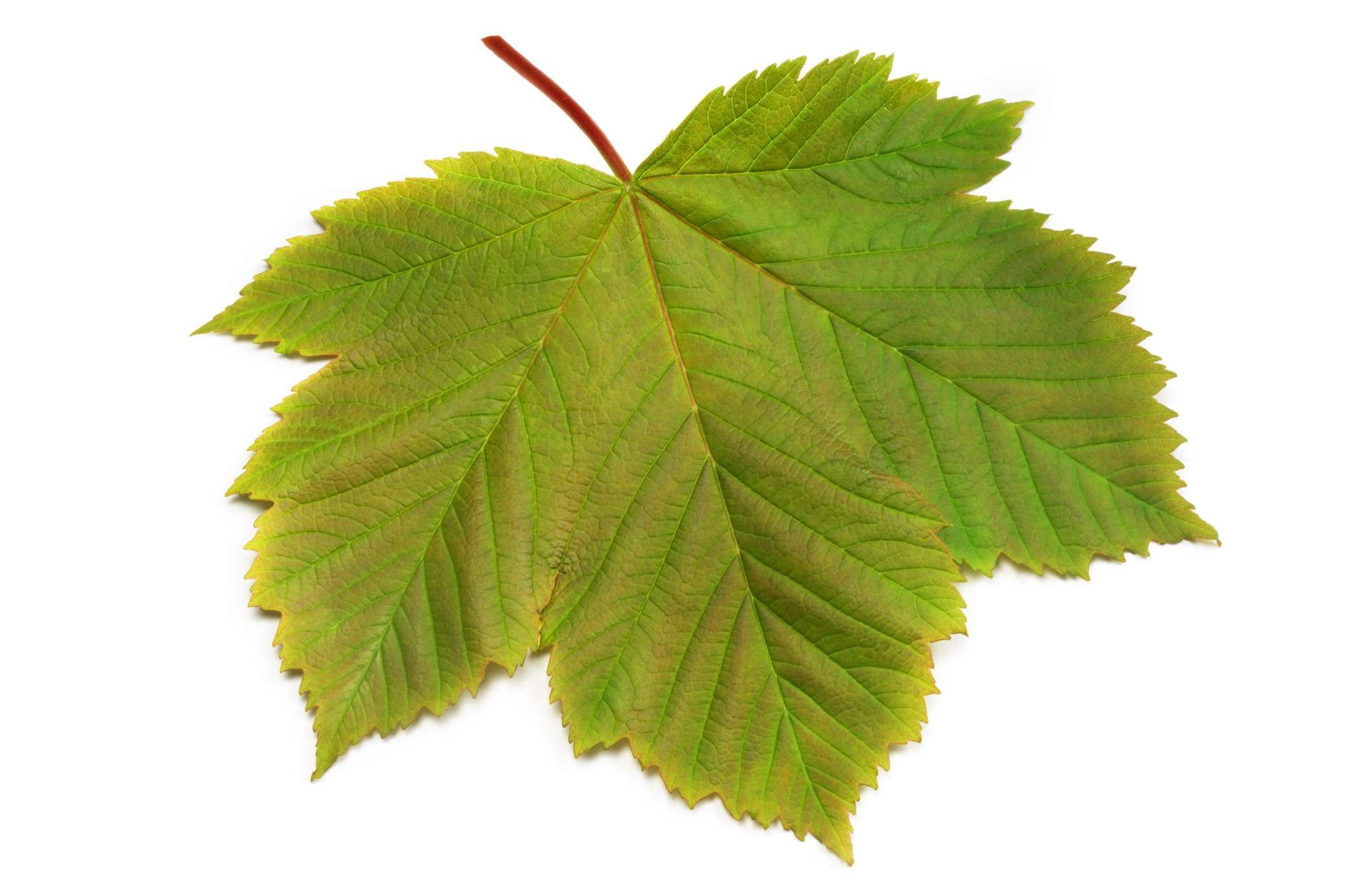 How To Identify Trees With Maple Like Leaves How To Identify