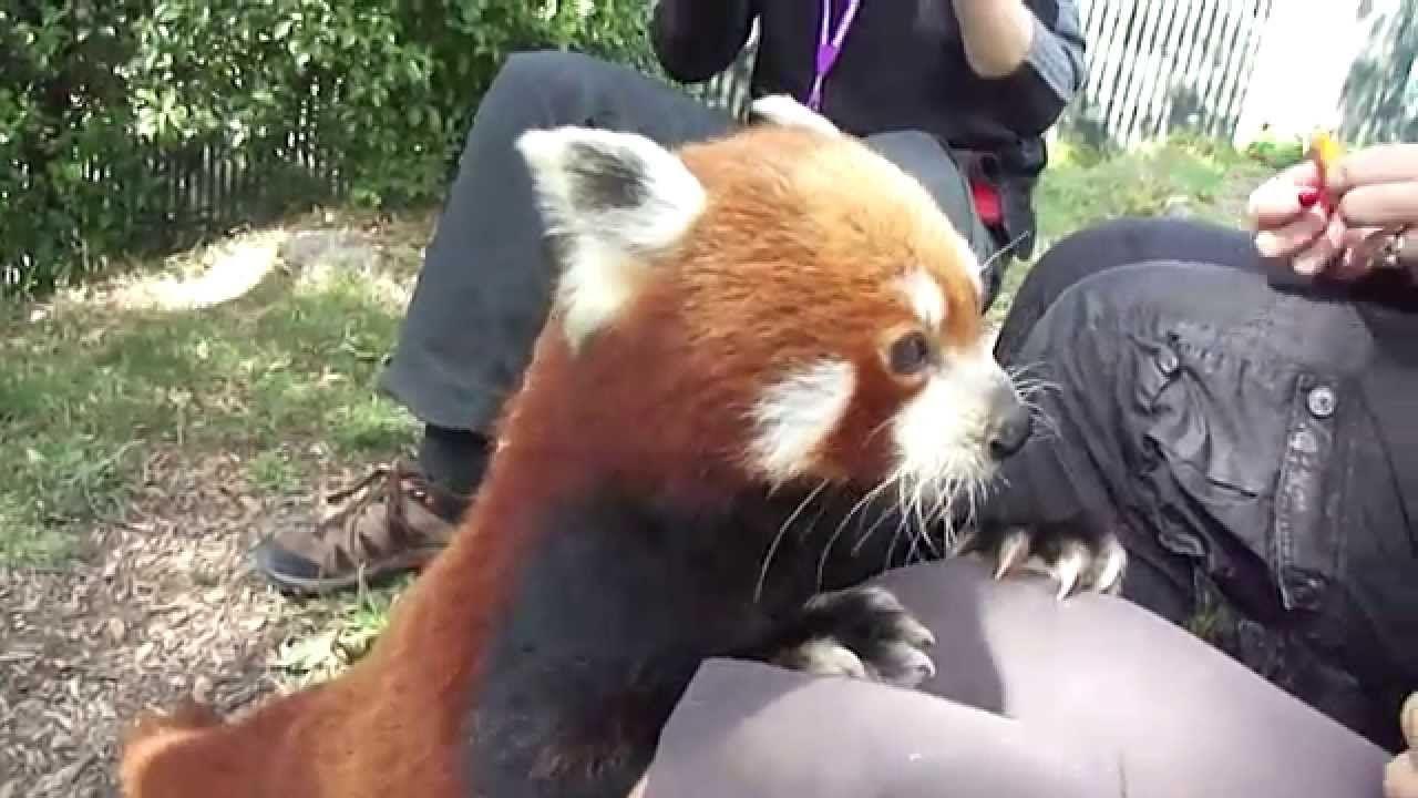 Red Panda Close Encounter The Wellington Zoo Youtube Red Panda Wellington Zoo Close Encounters