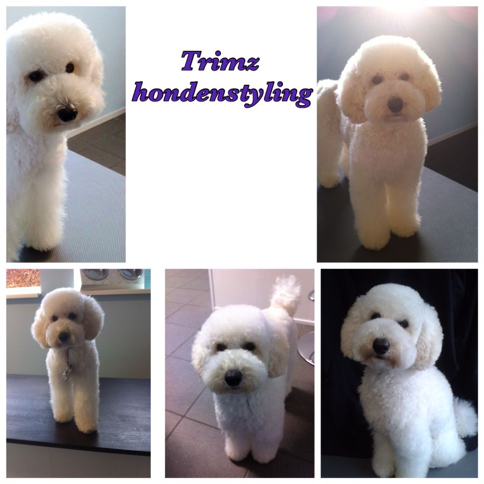 groomed by Trimz hondenstyling  - the Netherlands -