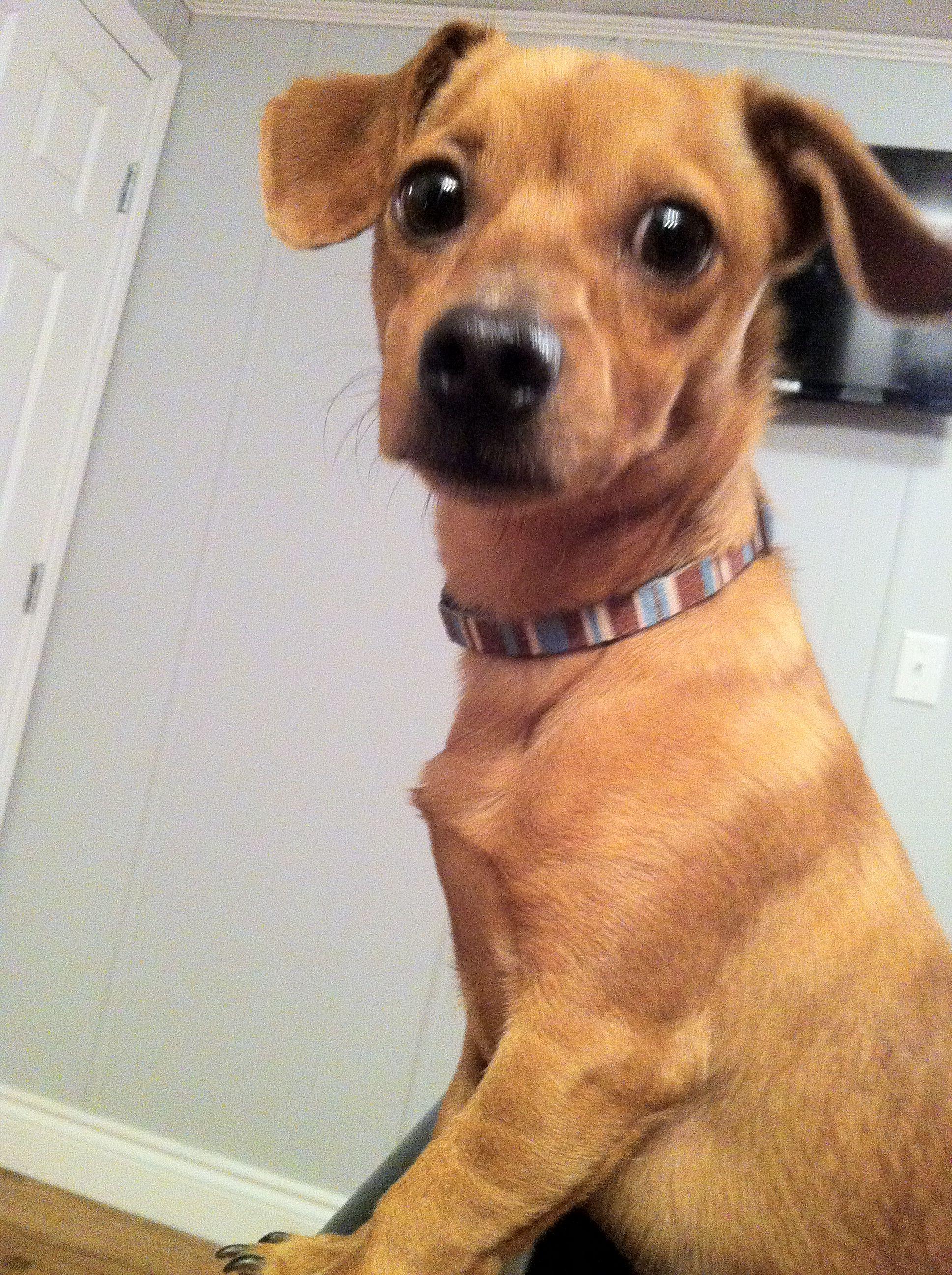 Chiweenie Chihuahua Dogs Animals