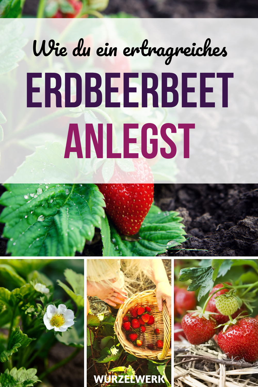 Der Komplette Erdbeer Guide Erdbeeren Pflanzen Anbauen Und Ernten Erdbeeren Pflanzen Erdbeeren Garten Erdbeeren Anbauen