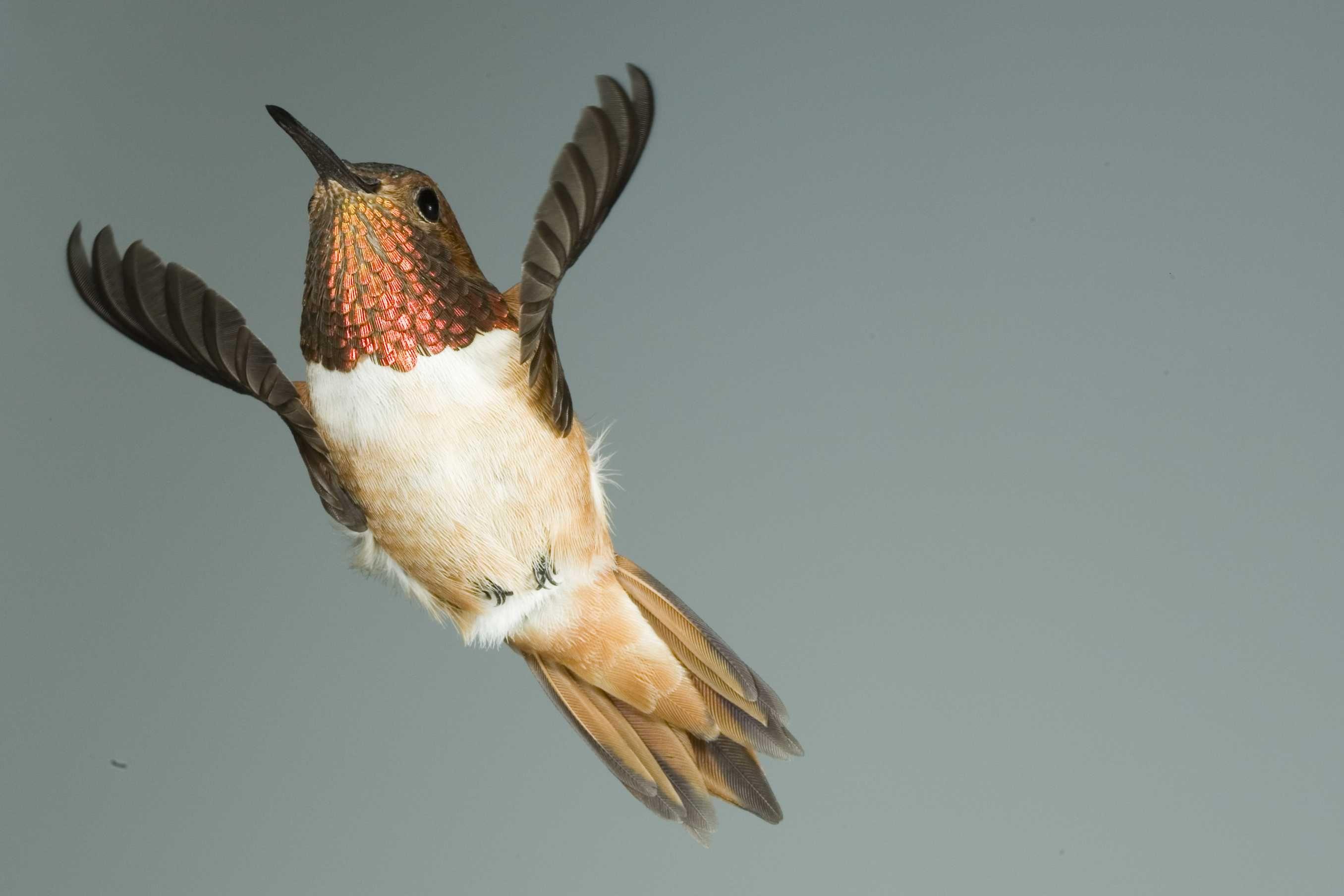 Rufous Hummingbird Birds Hummingbird, Birds, Bird feathers