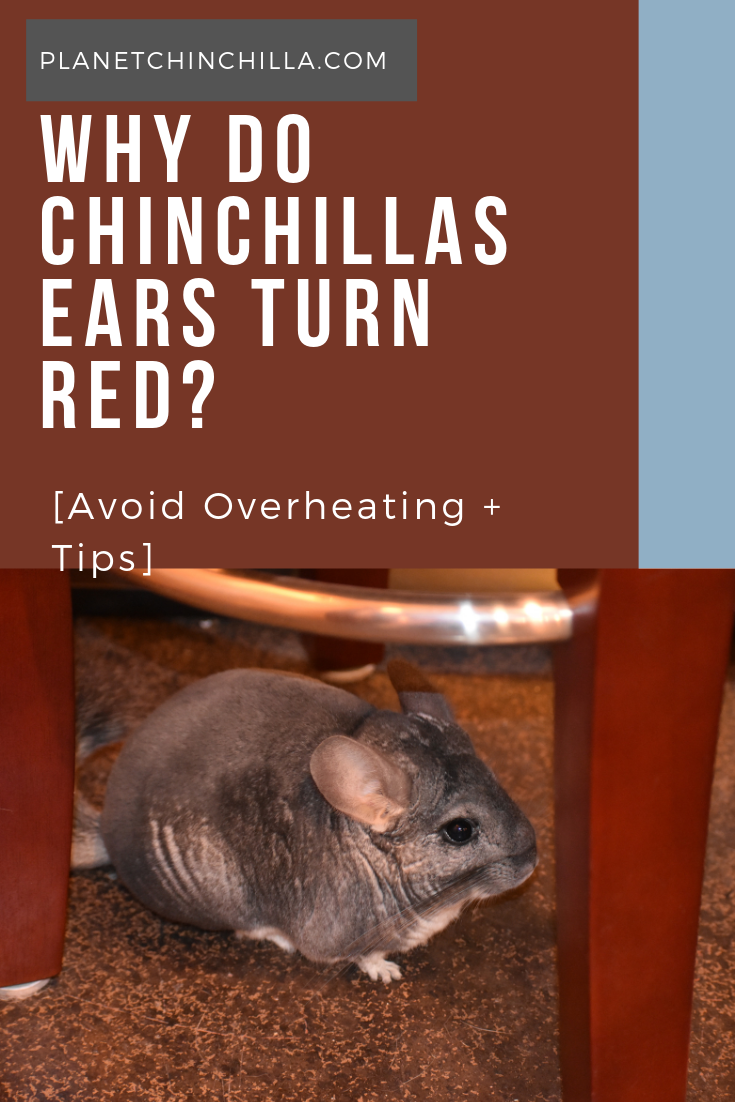Pin on Chinchillas care