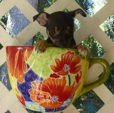 Chihuahuas See Suzie Cute On My Ebay Ad And Website Www