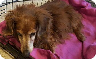 Pictures Of Baxter A Dachshund For Adoption In Dallas Tx Who
