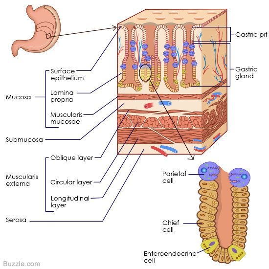 Understanding the human stomach anatomy with labeled diagrams ccuart Gallery
