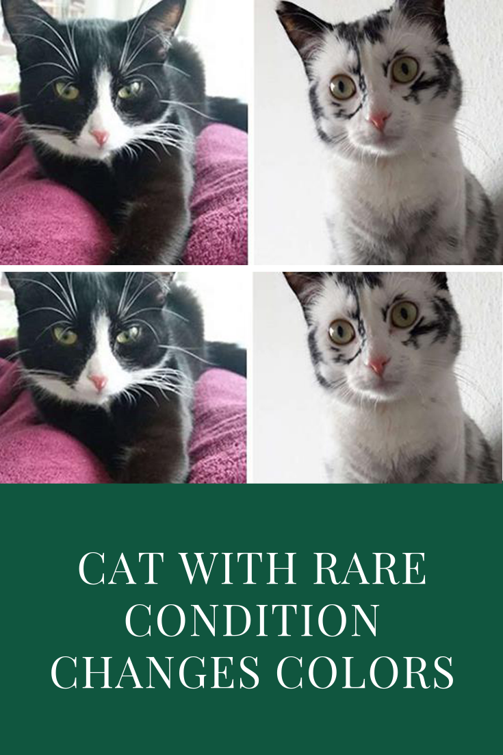 Cat With Rare Condition Changes Colors In Front Of Her Owner S Eyes With Images Cats Black And White Kittens Kittens