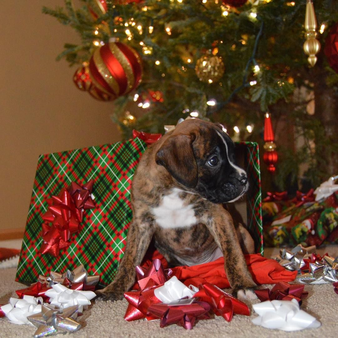 Sara Gamayunov On Instagram A Boxer Puppy The Cutest Christmas Present Boxer Boxergram Boxersofinst Boxer Puppy Boxer Puppies Brindle Boxer Puppies