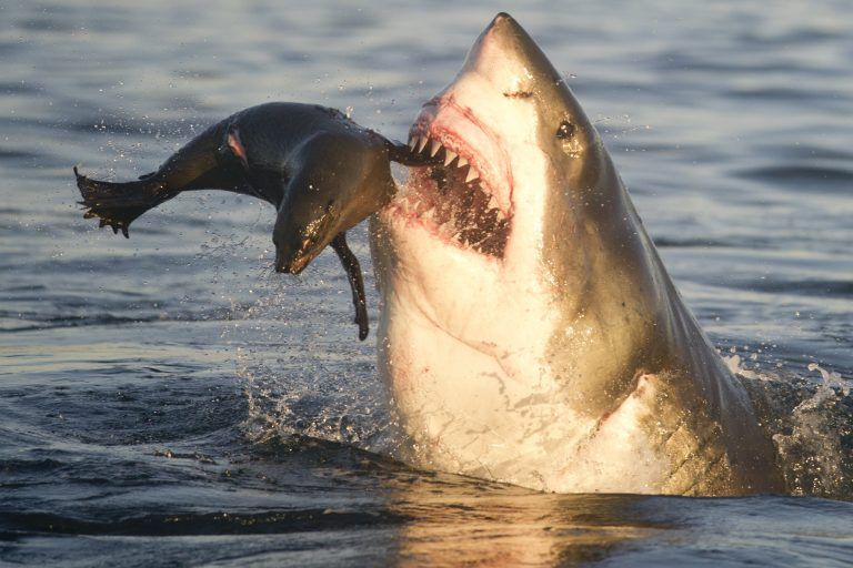 Apologise, great white shark attacks seal