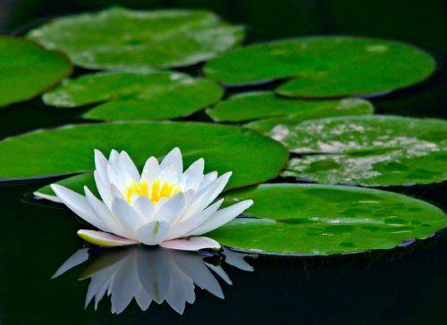Flowering facts water lily water lilies water features and plants flowering facts water lily lotus flowerslotus mightylinksfo
