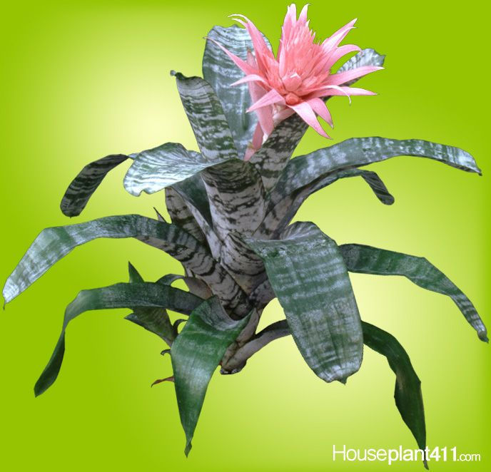 unlike cut flowers bromeliad houseplants can bloom for months when kept cool learn more at. Black Bedroom Furniture Sets. Home Design Ideas