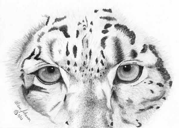 "Leopard Pencil Drawings ""Snow leopard&quo..."