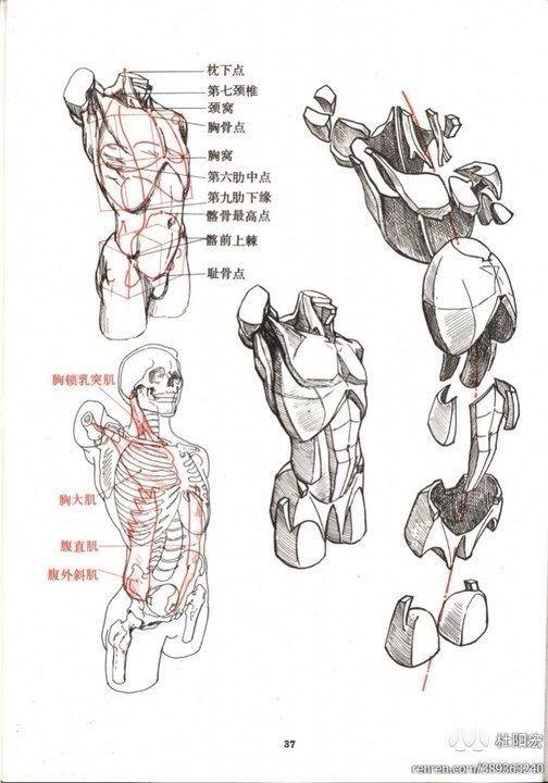 Pin de Cesar Gpe en Torso masculino | Pinterest | Anatomía, Anatomía ...