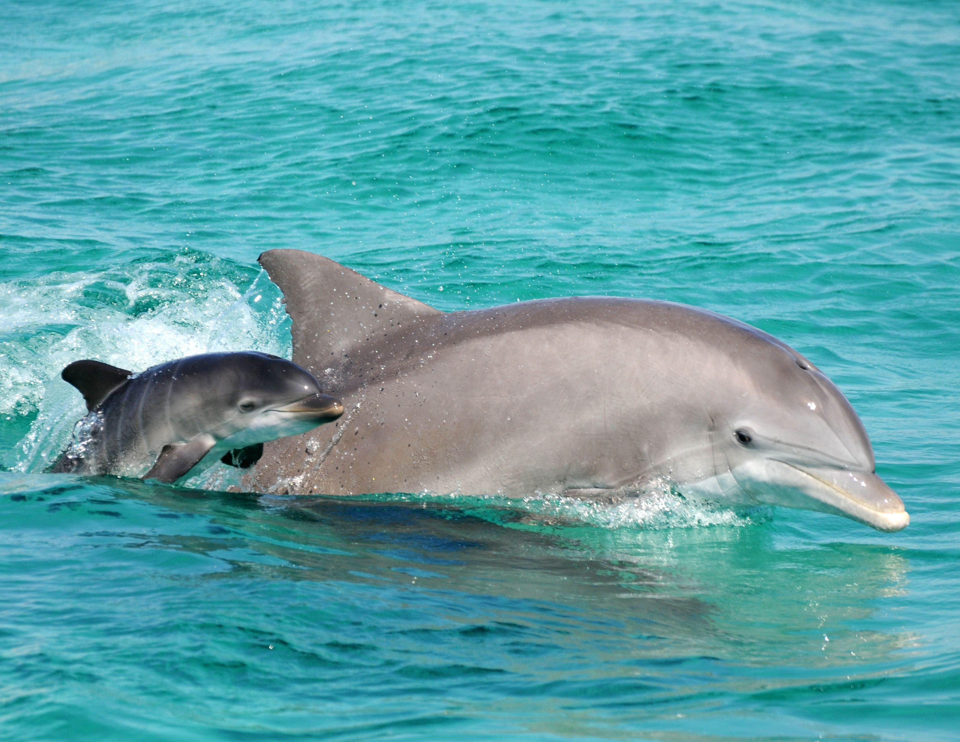 bottlednosed dolphins Bottlenose dolphins live in warm waters and tropical waters throughout the world, including the pacific ocean, baltic sea and the atlantic ocean there are two types of bottlenose dolphins, inshore.