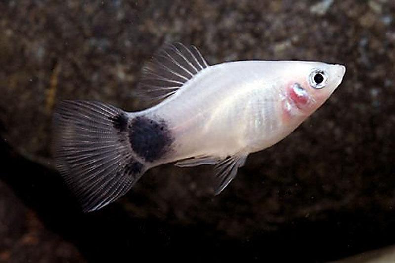 Image gallery silver platy for Platy fish breeding