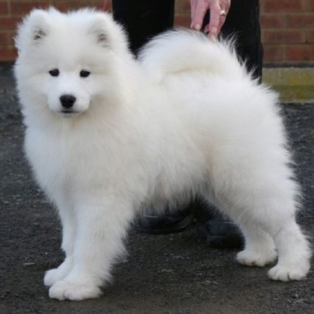 Such a fluffy little guy! Samoyed puppy :) I want one ...