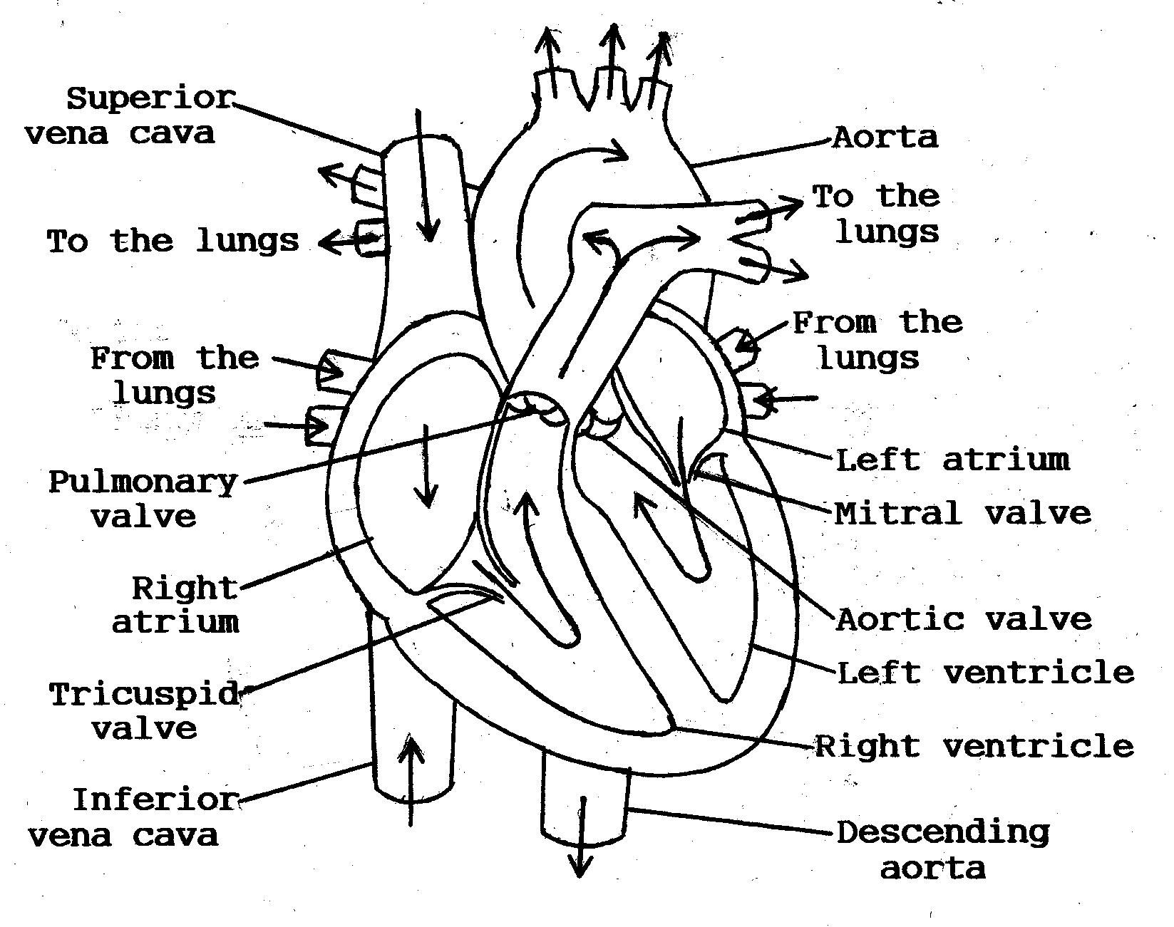 heart blood flow - google search | biomedical science | pinterest, Muscles