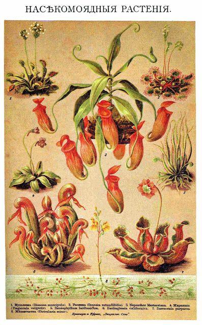 Todo para tu jardín: Varias plantas carnívoras Fuente: Brockhaus and Ef...