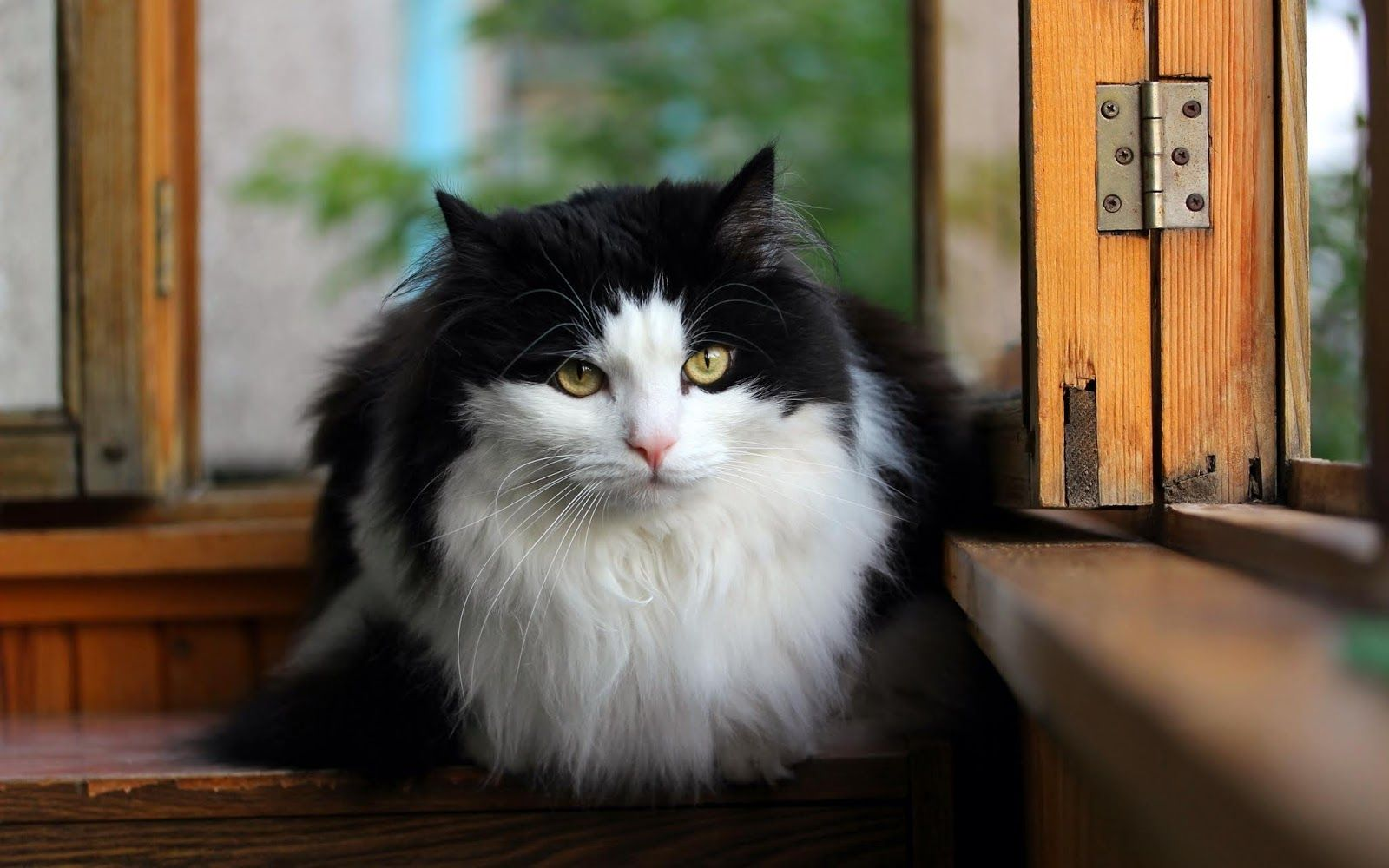Photos Beautiful Cats صور القطط الجميلة Cat Breeds Norwegian Forest Cat Cats