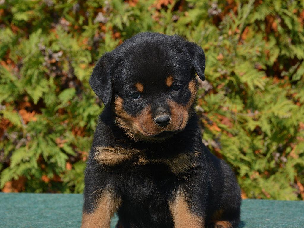 Brunette Rottweiler Puppy For Sale Rottweiler Puppies