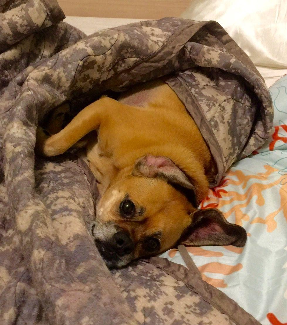 Peaches; unlaxing. Animals, Pugs, Dogs